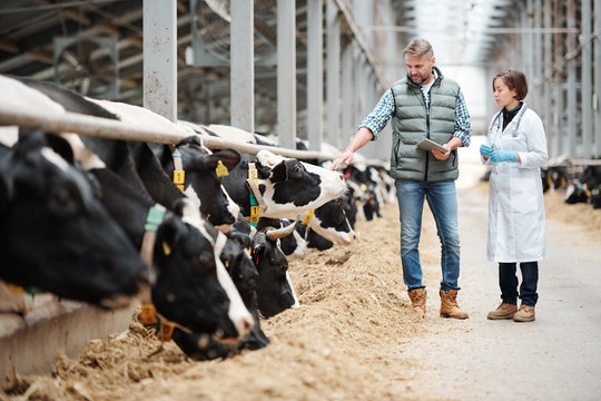 Mature head of large dairy farm consulting with veterinarian by cowshed