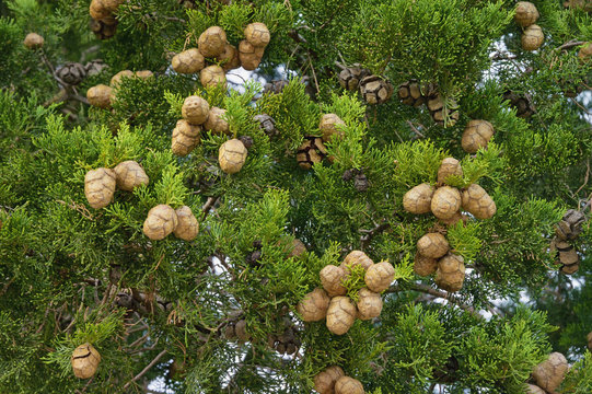 Branches of Mediterranean Cypress tree ( Cupressus sempervirens ) with foliage and cones, background