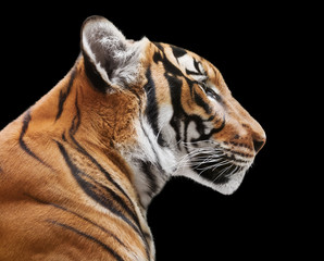 Wall Mural - Magnificent tiger isolated on black background