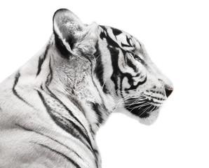 Fototapete - Beautiful white tiger portrait on white background