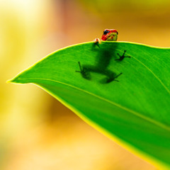 A poisonous strawberry dart frog (oophaga pumilio) in hiding behind a leaf on Bastimentos island in Panama.
