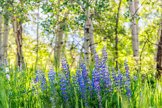 Group of purple lupine flowers in small forest in Snowmass Village in Aspen, Colorado and many colorful wildflowers in Aspen grove