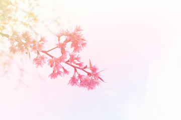 Abstract blossom background with branch of pink sakura flowers, soft pastel and vintage color