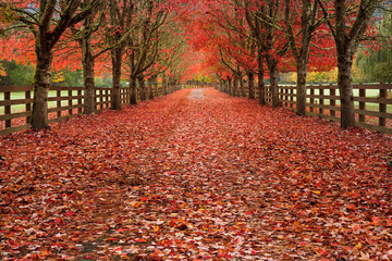 Foto op Plexiglas Rood traf. Colorful fall scenes. Tree lined driveways filled with bright reds and oranges. Vanishing point autumns scene