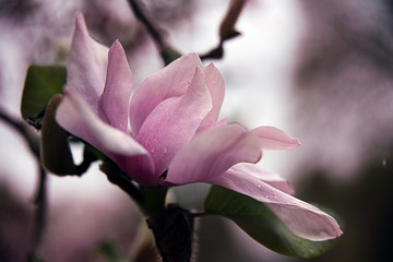 Photo sur Aluminium Magnolia flower of magnolia