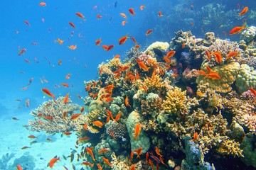 Foto op Aluminium Koraalriffen Beautiful tropical coral reef with shoal or red coral fish Anthias