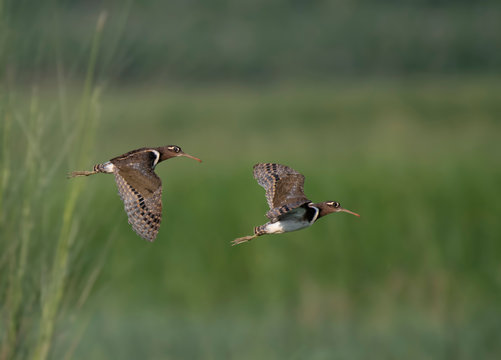 Painted Snipes flying in morning with beautiful background