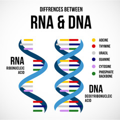 Differences between dna and rna vector scientific icon spiral of DNA and RNA