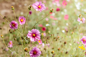 Wall Mural - Pink cosmos flower full bloom in field. Selective focus.