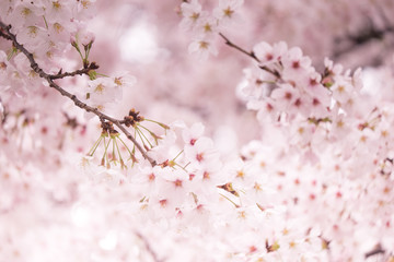 Wall Mural - Pink sakura flower bloom in spring season. Vintage sweet cherry blossom soft tone texture background.