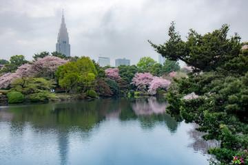 Fotomurales - Full bloom cherry blossom or Sakura in  Spring season. Shinjuku gyoen national garden, Tokyo, Japan.