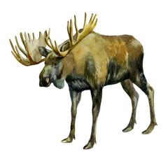 Watercolor illustration. Elk. Image of a moose on the side.