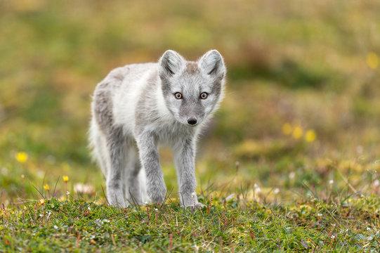Artic Fox white fur in summer