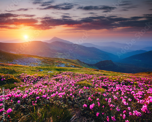 Wall mural The magic rhododendron blossoms in the springtime. Location Carpathian national park, Ukraine, Europe.