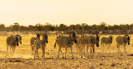 Group of adult and young Plains Zebra (Equus quagga) Walking together, Etosha National Park, Namibia Wall mural