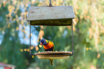 A Rainbow Lorikeet in eating some food on a hanging birdhouse