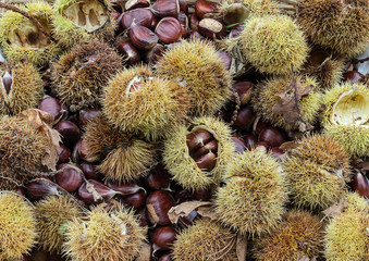 Autumnal composition, chestnuts and hedgehog just picked.