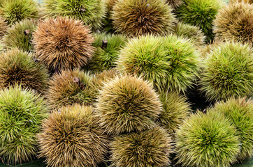 Chestnuts and hedgehog just picked