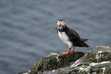 Puffin standing on a rock with sand eels in its mouth and the ocean in the background. Image taken in the Farne Islands, United Kingdom.