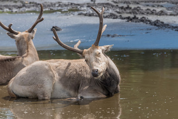 Pere David's deer, Elaphurus davidianus, milu, elaphure with characteristic large preorbital glands prefers wetland habitats. Animals in wildlife