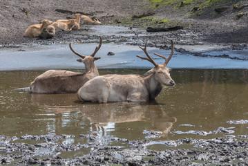 Pere David's deer, Elaphurus davidianus, milu, elaphure with characteristic large preorbital glands, black dorsal stripe prefers wetland habitats. Animals in wildlife