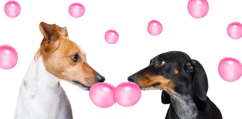 Keuken foto achterwand Crazy dog couple of dogs in love, chewing bubble gum