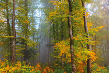 autumnal beech forest background. wet foliage in fall colors. mysterious weather condition on a foggy morning. beautiful nature scenery