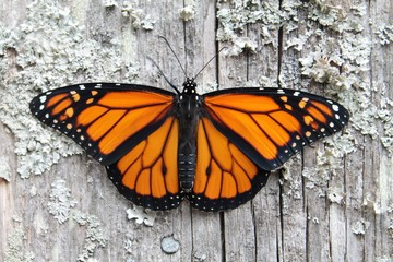 monarch butterfly on old wood