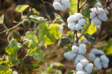 cotton plantation background farming concept