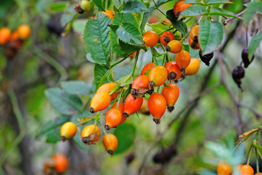 Rosehip branch close-up. Summer season, ripening orange rose hips with green leaves. Rosehip for medicine, cosmetology, in the landscaping and decoration of streets, parks, squares.