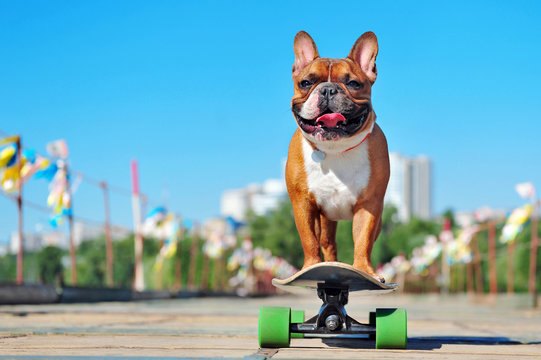 Little french bulldog riding on the long board