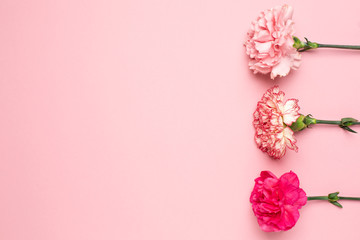 Beautiful pink carnation flowers with copy space on pink background