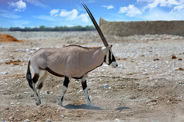 Gemsbok Oryx walking acroas the harsh arid plains in Etosha National Park, Namibia