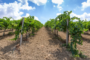 View on the sunny vineyards in the Italian village of Cossignano