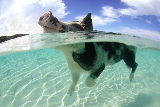 Smiling pig swimming in clear water with fish on Big Majors Cay, Bahamas