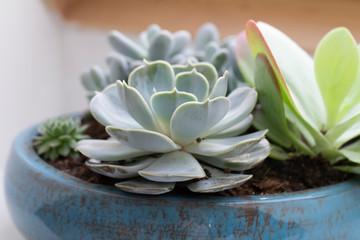 echeveria pollux succulent plant closeup