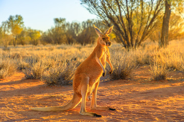 Foto auf Acrylglas Melone Side view of red kangaroo, Macropus rufus, standing on the red sand of outback central Australia. Australian Marsupial in Northern Territory, Red Center. Desert landscape at golden sunset.