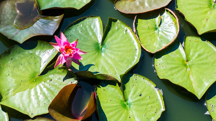 solitary pink water lily with lily pads in a pond with copy space