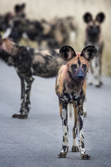 An African Wild Dog with blood in its fur from a recent hunt on the look out for the pack, with other dogs in the background.  Kruger National Park, South Africa