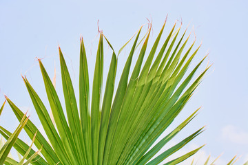 Green leaves of the royal palm tree.
