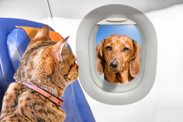 cute cat and dog pet animals in airplane cabin side interior view of brown kitten inside passenger plane looking at window with face of puppy outside of aircraft air family travel concept