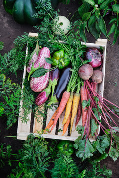 Various organic vegetables in a wooden box in the garden, harvesting. Carrots, beets, eggplants - Healthy products.