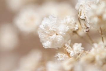 Gypsophila dry little white flowers on macro