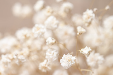 Obraz Gypsophila dry little white flowers with macro for invitation - fototapety do salonu