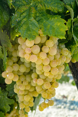 Ripe white grape growing in vineyard in Andalusia, Spain, sweet pedro ximenes or muscat, or...