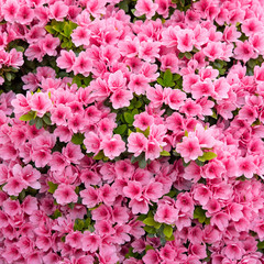 Poster Azalea Pink azalea flowers background ピンク色のツツジの花 背景