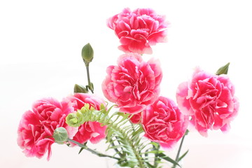 pink and white carnation for Mother's Day background image