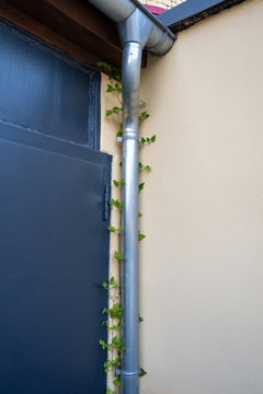 Ivy climbs behind a water downspout.