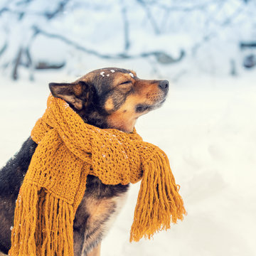 Portrait of a dog with a knitted scarf tied around the neck walking in a blizzard in the forest
