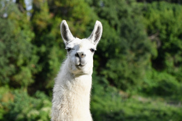 Portrait of a Llama in nature